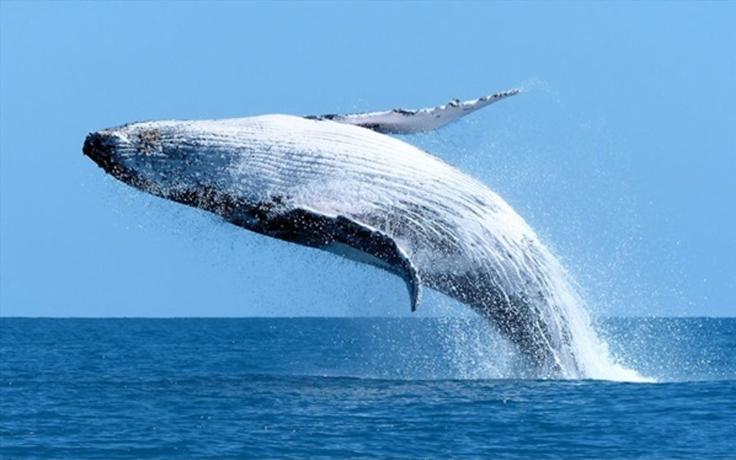 whales-breaching1.jpg